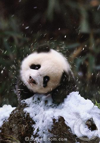 Snowy panda